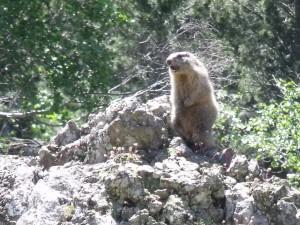 Marmotte en pleine vocalise